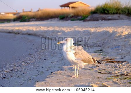 Seagull paces on sandy beach