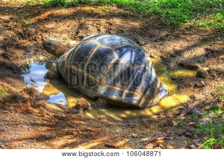 Turtle In A Puddle
