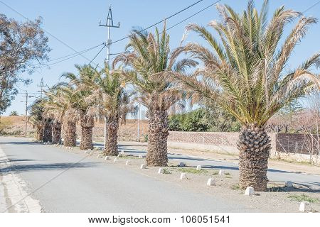 Date Palm Lined Street In Carnavon