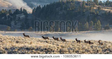 Elk In Wild.
