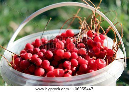 red ripe schisandra in the bucket