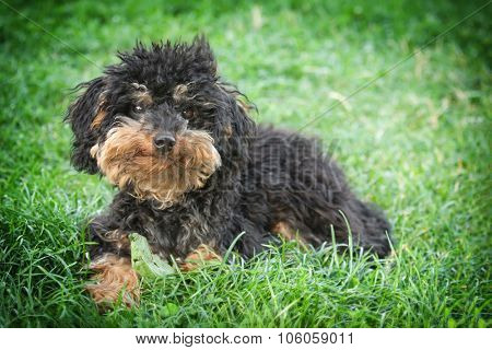 A tramp small shaggy dog