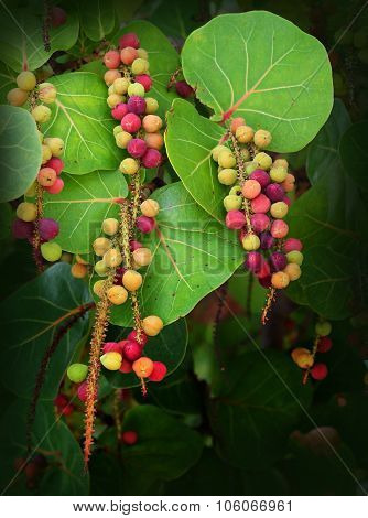 Sea Grapes Hanging from a Tree