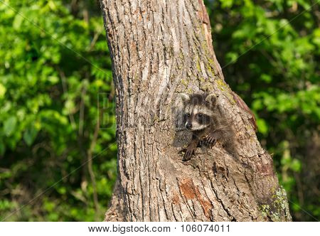 Young Raccoon (procyon Lotor) Climbs In Tree