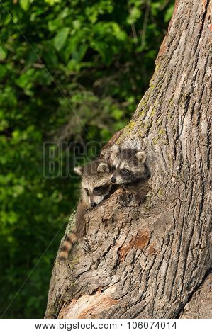 Young Raccoons (procyon Lotor) Poke Heads Out Of Tree