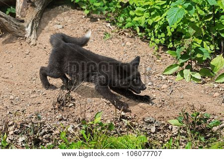 Young Silver Fox (vulpes Vulpes) Sprays Dirt