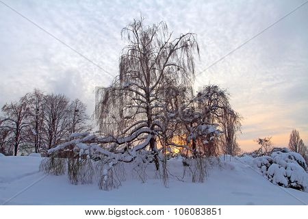 Birch Trees With Drooping Branches Growing Near The Snow-covered Forests, Trees And Bushes Covered W