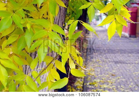 Ash With Yellow Leaves And Pavement Tiles