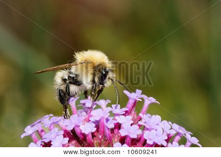 Bee feeding on a purlpe flower