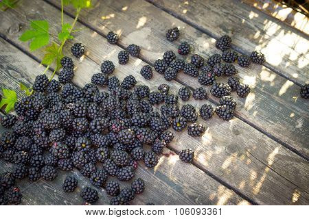 Black Blackberries, Ripe Blackberries, Unripe Blackberries On The Bush, Black Blackberries On An Old