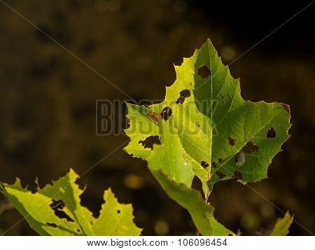 Bright Green, Decaying Leaf
