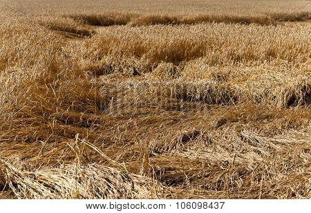 broken rain wheat