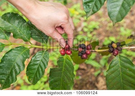 Close Up Hand Keep Coffee Beans For Harvesting On Branch