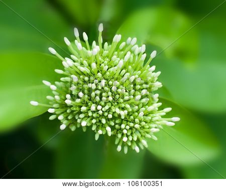 Beautiful Bouquet Of White Ixoras Flower, West Indian Jasmine Flower. Selective Center Focus