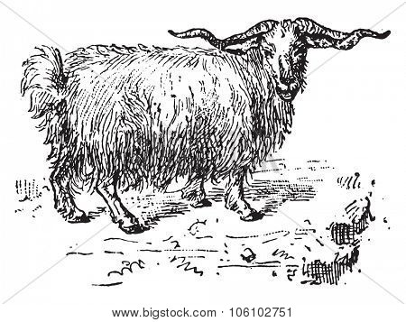 Angora goat, vintage engraved illustration. Dictionary of words and things - Larive and Fleury - 1895.