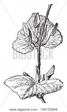 Aristolochia, vintage engraved illustration. Dictionary of words and things - Larive and Fleury - 1895.