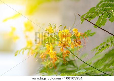 The Flame Tree Yellow Flower With Sunlight On Sweet Tone,delonix Regia