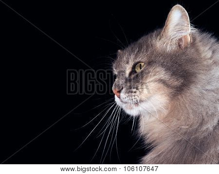 Portrait of a cat on a black background.