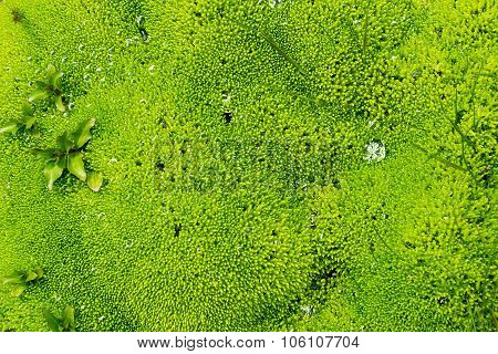 Green moss seen in Iceland