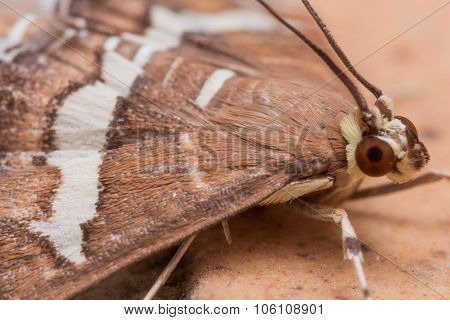 Hawaiian Beet Webworm Moth (spoladea Recurvalis) Close Up