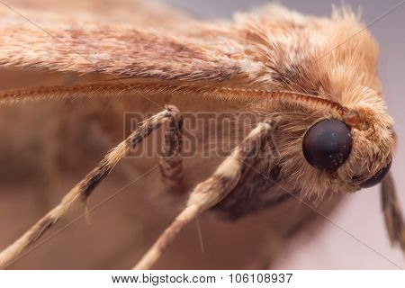 Close Up Portrait Of Brown Moth (anania)