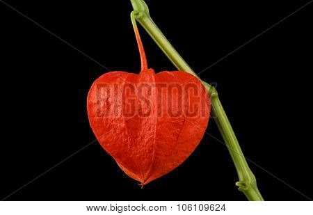 Chinese lantern, Physalis Alkekengi on Black Background