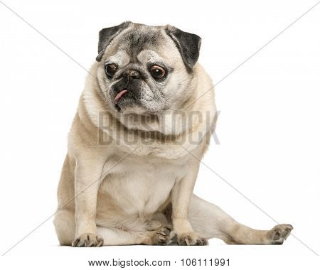 Handicapped Pug sitting in front of white background