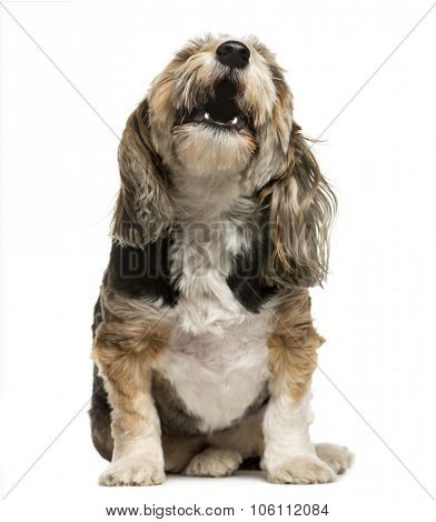 Crossbreed barking in front of white background