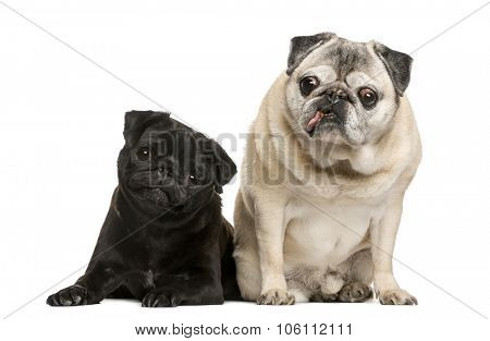 Two funny Pugs in front of white background