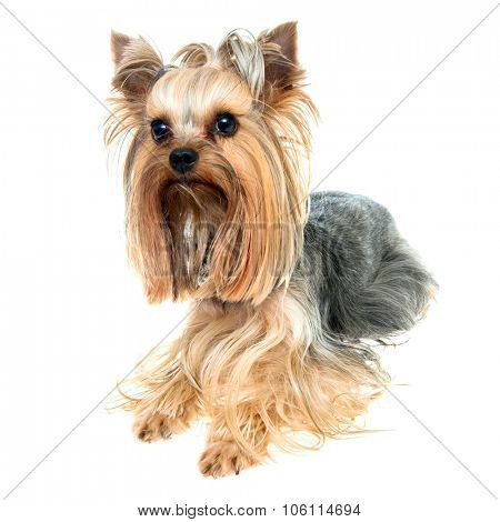 Yorkshire terrier, isolated on white.
