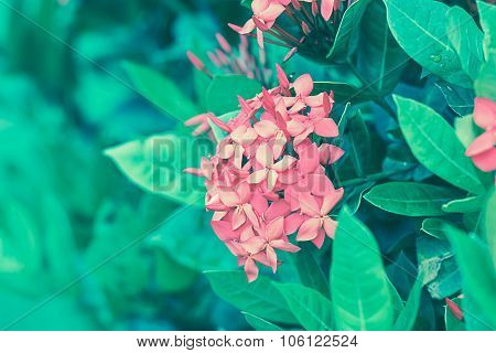 Ixora Blooming In The Garden On Soft Light Vintage Tone