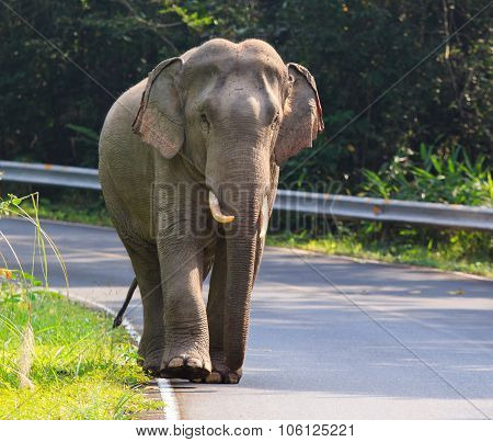 Young Male Elephant In Khaoyai National Park Important Natural Traveling Destination In Thailand
