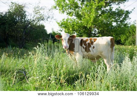 Spotted Calf Grazing On A Green Field