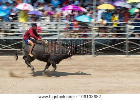 Buffalo Racing Festival 2015 The Tradition Of Thailand