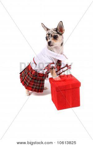 Chihuahua Christmas