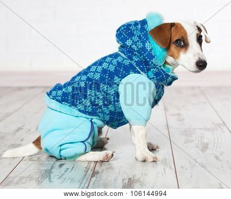 Dog in winter clothes. Puppy in overalls