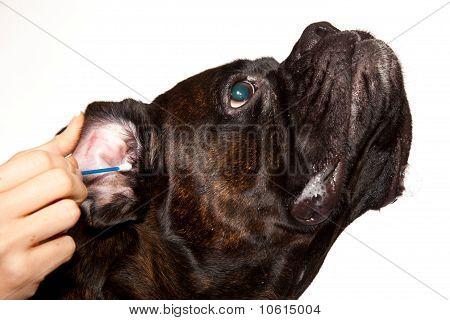 Boxer dog hygiene