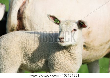 Young lamb in spring time