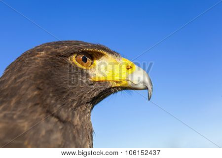 Harris Hawk, Parabuteo Unicinctus, in profile against a blue sky. Bird of prey native to the southwestern United States of America south to Chile and central Argentina.