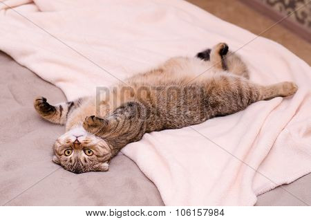 Scottish Fold Cat, Brown Tabby Lying Belly Up On Its Back.