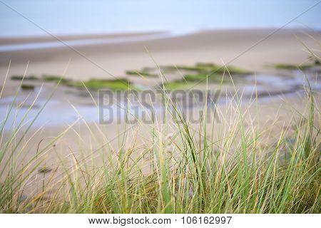 Wild Dune Grass In Beal Beach