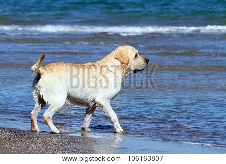 Labrador Playing In The Sea