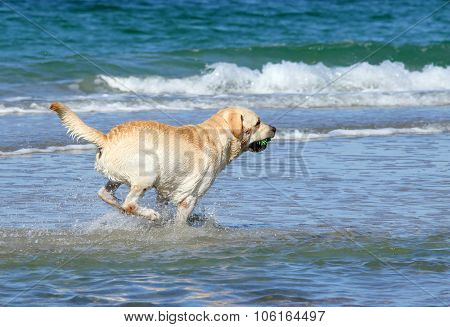 Yellow Labrador Swimming In The Sea With A Toy