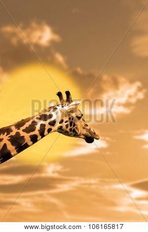 Zebra Portrait In The Sunset