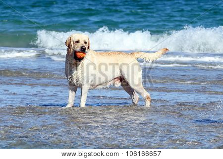 Labrador Swimming In The Sea With A Ball