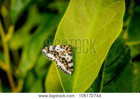 Harlekin Butterfly On A Big Green Leaf