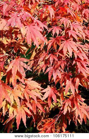 Acer palmatum (Japanese maple
