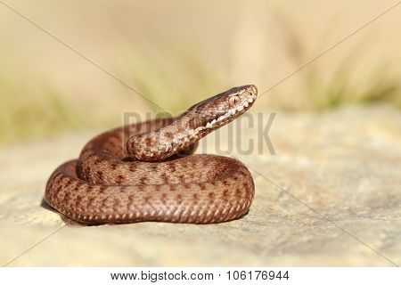 Beautiful European Common Adder