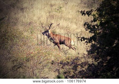 Beautiful Wild Red Deer Stag In Carpathian Mountains