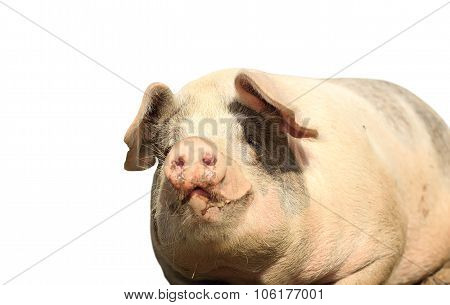 Big Isolated Sow Portrait